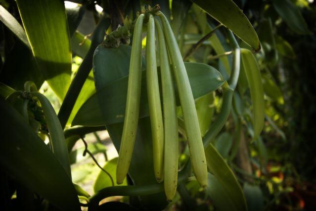 how to grow vanilla beans in australia