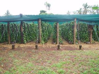 Tonga plantation