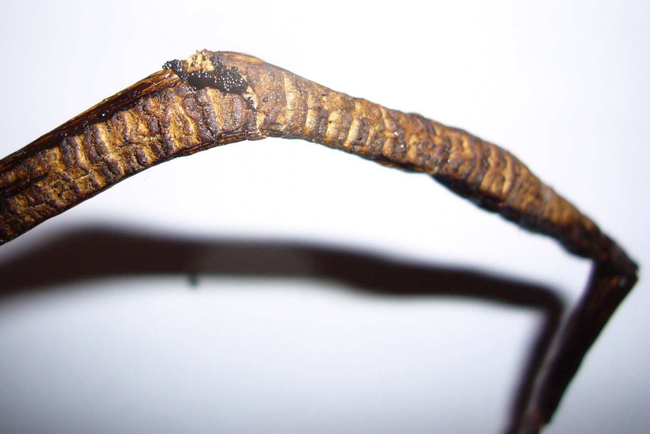 how to tell if vanilla beans are bad