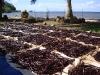 Tahiti Vanille -- Plantation