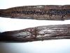 Tahiti Tahitensis 16cm