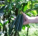 Vanilla beans on vine