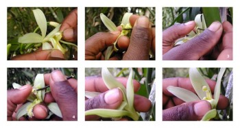 This pictorial shows vanilla pollination. Photo:<a href=